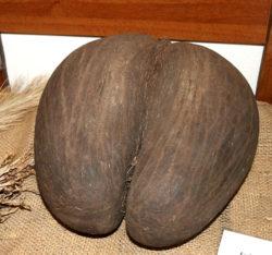 Lodoicea Seychelská - semeno