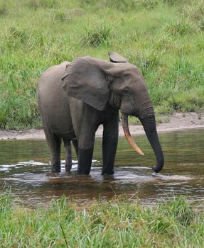 Slon pralesní