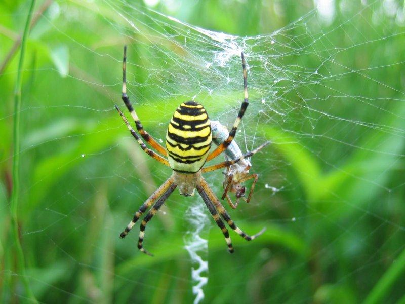 Křižák pruhovaný v pavučině, ve které je zřetelné stabilimentum